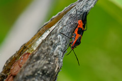 Milkweed Beetle at Home