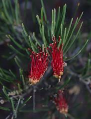 Grevillea concinna, Kings Park, Perth, WA, 16/08/16 (Russell Cumming) Tags: plant grevillea grevilleaconcinna proteaceae kingspark perth westernaustralia