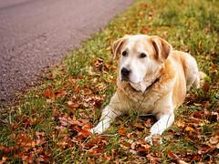 2016-10-24_17-24-26 (torstenbehrens) Tags: alter hund liegt auf dem seitenstreifen der landstrase olympus penf sigma 1850mm f28 dc digital camera