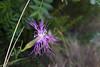 2016_07_30 Els ports paz (2) (paz_pascual) Tags: clavelsilvestre clavellina flor naturaleza pazpascual