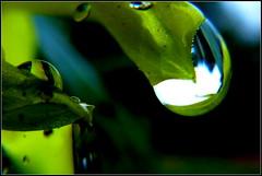 Dahlientropfen (Barbara Wenzel-Winter) Tags: makro dahlien dahlientropfen abstrakt makrowelten blumen pflanzen regentropfen wassertropfen closeup
