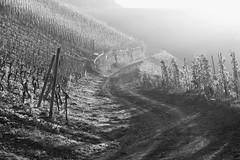 Saar DSCF2246 (Denkrahm) Tags: riesling wiltingen saar kanzem vineyard autumn bw light denkrahm contrejour
