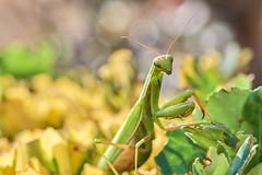 mante religieuse (rondoudou87) Tags: mante mantereligieuse prayingmantis mantis macro nature pentax k1 close closer bokeh jardin garden