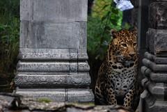 Big cat model (sz1507) Tags: felines sguardo animalier animals felini parco d60 nikond60 2016 belgique belgio brugelette bruxelles immobile cat bigcat garden park jardin jardindimonde pairidaiza macchie animale animal leopard leopardo