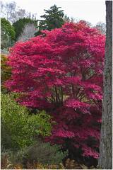 Acer (Jistfoties) Tags: dawyckgardens aut autumn acer tree landscape canon5d canon24105f4 nature