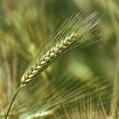 Spring Meal (A. Bockheim) Tags: spring meal grain d80