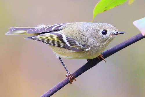 ruby-crowned kinglet at Decorah Fish Hatchery IA 854A6487