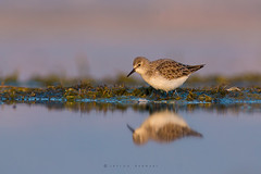 Little stint (Calidris minuta) (or Erolia minuta) with reflection (Irtiza Bukhari) Tags: irtiza bukhari bird one reflection alone beauty nature littlestintcalidrisminutaoreroliaminuta little stint photography pakistan wildlife wildbird wildlifeofpakistan light love canon70d canon 400mm 400mm56 natgeo naturephotography explore channel flickerexplore amazing irtizabukhari freeze horizontal air water loving lens cute curiosity sunrisethismorning sunrise earlymorning morning glory
