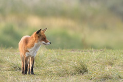 Where to go? (Guido de Kleijn) Tags: fox redfox guidodekleijn nikond500 nikon200500f56