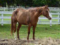 Wheaton, IL, Danada Forest Preserve and Equestrian Center, Horse with White Blaze (Mary Warren (7.4+ Million Views)) Tags: wheatonil danadaforestpreserve danadahouse nature flora green animal mammal horse roan