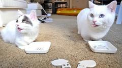 Yummy chicken! #goboogi #chobee #munchkin #cat # # # # # # # # # # # (Goboogi.Munchkin) Tags:     goboogi  munchkin  chobee  cat