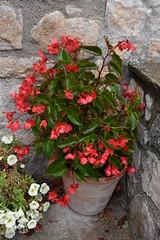 Flors i pluja (esta_ahi) Tags: baixcamp flor flora flores cultivadas begonia begoniaceae petunia solanaceae lafebr tarragona spain espaa