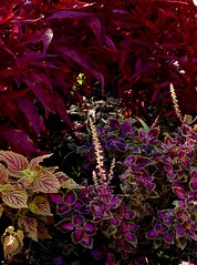_DSC0267 (jackie.wolff) Tags: flowers foliage leaves fall purple pink bright outdoor