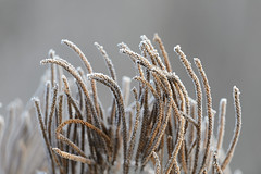 Frosty Vervain-44848.jpg (Mully410 * Images) Tags: natural nationalwildliferefuge winter plants nature winterwonderland frost icy mvnwr brown hoarfrost cold crystal morning plant vervain bloomington season fog landscape outdoor frosty minnesotarivervalleynationalwildliferefuge