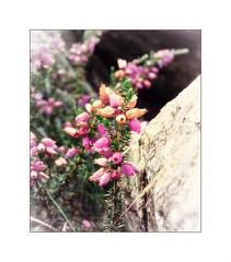 October Heather (Missy Jussy) Tags: heather flower rocks wales nationalpark plants wildflower hills canon canonpowershotsx60 blossom autumn october