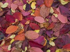 PA210385 (Asansvarld) Tags: autumnleaves höstlöv höst autumn fall sweden sverige stockholm vårberg olympusomdem5 manuallens microfourthirds