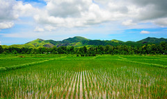 Green Rice Fields (free3yourmind) Tags: green rice fields nature mountains hills clouds cloudy day water bohol philippines landscape