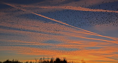 Starlings going to roost over Nevisons's Flash (Joan's Pics 2012) Tags: starlingsgoingtoroostovernevisonsflash birds flocks murmuration nightsky colourful sunset 116picturesin2016 illustrateawellknownquote number56