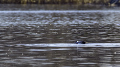 Petit Garrot (yveshebert) Tags: plaisance17 birds oiseaux oiseauxduquébec outaouais ottawariver parcnationaldeplaisance plongeur