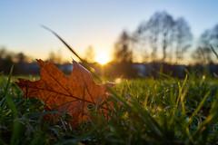 Autumn leaves (sgt.floydpepper.hh) Tags: fujixe1 xf2314r nature sunsetlight leaf bokeh landscape