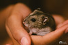 Paulowski III (Pippoloide) Tags: hamster animal mascota pet canon 6d roedor martadiarra