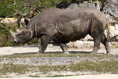 Eastern Black Rhinoceros (Miami Metro Zoo) 2 (Juan Livano) Tags: blackrhino blackrhinoceros florida miami captivity zoo zoomiami miamimetrozoo african africa mammal rhinoceros rhino