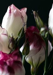 Tangled (Deborah S-C -In The Fairy Garden! On/Off) Tags: beauty black colour green white flowers flora floral petals buds calyx cerise eustoma raspberry sepals stems lisianthus november16 onblack fromholland flowerman