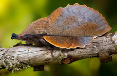 The Lappet (johnhallmen) Tags: insect macro lepidoptera moth canon760d canonmpe65 canon270ex