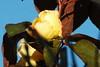 DSC_2105 (PeaTJay) Tags: nikond70s reading lowerearley berkshire macro micro closeups gardens outdoors nature winter frost flora fauna plants flowers rose roses rosebuds