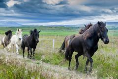 SHL_3023 copy (Shlomi's Pic) Tags: addtoonepic איסלנד בעליחיים טבע טיולחול סוס