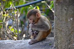 DSC_3455littlemonkey (BasiaBM) Tags: swayambhunath monkey temple kathmandu nepal