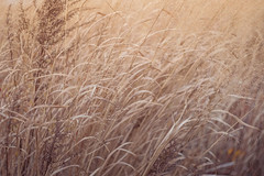Dreamy Whispers (JMS2) Tags: nature grass seagrass autumn reeds