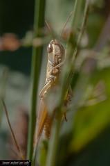 Pezotettix giornae (frillicca) Tags: 2009 acrididae agosto august cavalletta cricket grasshopper grillo insect insetto macro macrofotografia orthoptera ortottero pezotettixgiornae piccolapodismadirossi podismapiccola