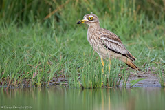 Don't disturb the water. (DorianHunt) Tags: stonecurlew birds bokeh spain july 2016 nikond7200 sigma 150600mm wwwhidesdecaleracom