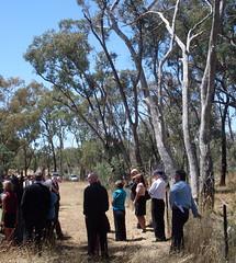 Kookaburra calls from a tree (spelio) Tags: ashley hall