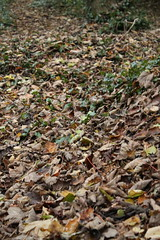 IMG_8872 (Geoff_B) Tags: badockswood bristol walkinthewoods autumn november unprocessed unedited