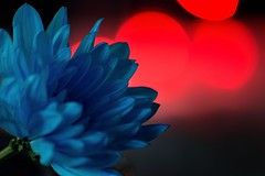 Caught in the lights (padge83) Tags: nikon d5300 chrysanthemum lights red blue macro bokeh petals westyorkshire
