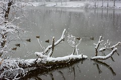 First snow (Lena and Igor) Tags: snow first lake water ducks park reflection tree pond dslr nikon d810 nikkor 2470 travel winter