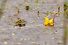 Utricularia australis (Laurent Moulin photographie) Tags: utricularia utriculaire australis australe lac de pecher cantal situ plante carnivore carnivorous plant grenouille frog