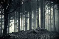 Abies pectinata in the Fog (Lorenzo Venturini - Lorebike) Tags: d600 24120 lorebike