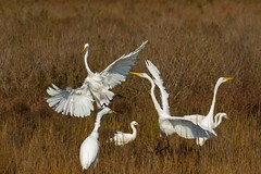 7K8A3981 (rpealit) Tags: scenery wildlife nature chincoteaque national refuge great egrets bird egret