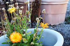 Orange Flower in Pot