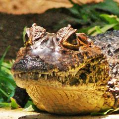 Reptile Portrait / Retrato de Reptil (drlopezfranco) Tags: guatemala retalhuleu elasintal abajtakalik takalikabaj reptile reptil cocodrilo crocodile closeup acercamiento portrait retrato