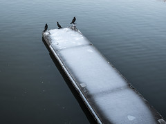 Cormorants, or shags? (Chris Bertram) Tags: 20mmf17 bridge bristol cormorant england europe panasonicgx80 princestreet shag unitedkingdom