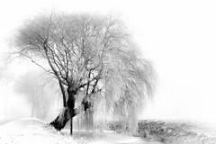 Cold morning (Festblick) Tags: bw blackandwhite schwarzweis tree nature landscape morning baum landschaft