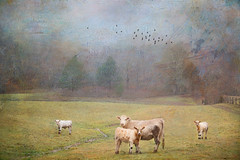 Muted Fall (Distressed Textures) Tags: distressedtextures landscape cows moos sky fog textured texture birds cheryl tarrant tennessee