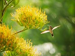 Birding with GX85 + PANA 100-300 (Rod.T28) Tags: hummingbird birds bokeh panasonicgx85 gx85 panasonic100300mm riodejaneiro