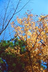 高尾山_15 (Taiwan's Riccardo) Tags: 2016 japan tokyo 135film fujifilmrdpiii transparency color plustek8200i rangefinder 日本 東京 zeissikoncontessa35 tessar fixed 45mmf28 高尾山 八王子 2016tokyovacation