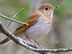 Veery (RonG58) Tags: pictures new trip travel winter light usa color bird nature birds fauna forest geotagged photography us photo woods flora day image photos live wildlife wayne birding maine picture images photograph digitalcamera migration tori exploration habitat mori thrush photooftheday picoftheday waynemaine veery catharusfuscescens birdwalk loiseau fugifilm laforêt natureexploration elpájaro dervogel rong58 finepixhs50exr