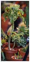 Wubbulous World (daveelmore) Tags: plant bokeh greenhouse manualfocus stitchedpanorama legacylens lesterdine omm43adapter kiron105mm128macro wubbulousworld